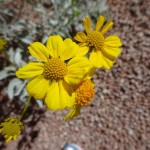closeup of flowers of brittlebush blooming at Academy Village