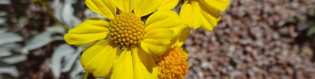 brittlebush flowers blooming at Academy Village