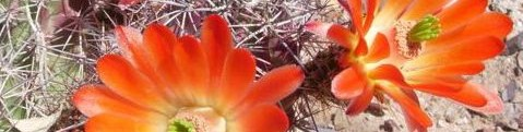 flowers of hedgehog cactus blooming at Academy Village