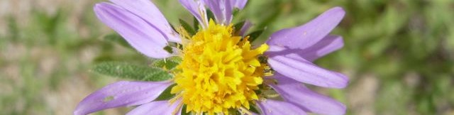 flower of tansy aster blooming at Academy Village