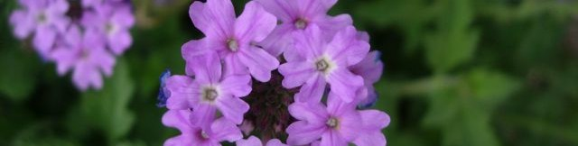 flowers of verbena (Glandularia) blooming at Academy Village