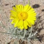 flower of desert marigold blooming at Academy Village