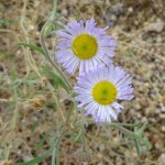 erdi flower