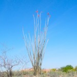 ocotillo blooming at Academy Village