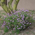 form of Goodding verbena blooming at Academy Village