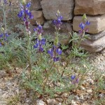 Coulter's lupine blooming at Academy Village
