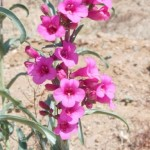 desert penstemon blooming at Academy Village