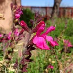 autumn sage blooming at Academy Village