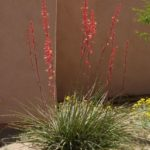 red yucca blooming at Academy Village