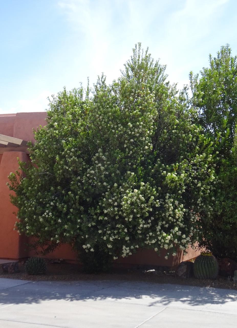 Arizona Rosewood What S Blooming
