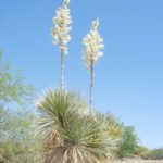 Soaptree yucca Blooming at Academy Village
