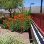 red bird of paradise blooming at Academy Village