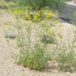 Trans-Pecos thimblehead blooming at Academy Village