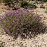 black dalea blooming at Academy Village