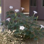 datura blooming at Academy Village
