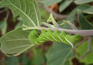 tobacco hornworm on datura at Academy Village
