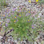 mesa tansyaster Blooming at Academy Village